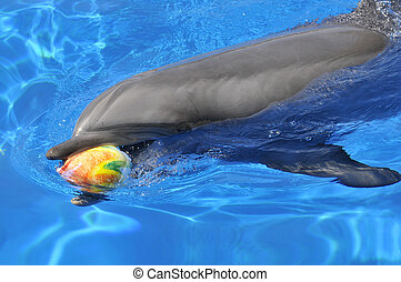 Bottlenose dolphin with a ball - Bottlenose dolphin Tursiops...
