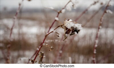 Raspberry cane with hoarfrost in winter field, december...