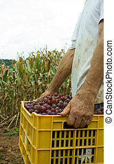 Vineyard - Mans hands holding a box full of grapes -...