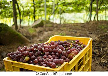 Vineyard - Yellow Box Full of Rose Grapes - Vineyard -...
