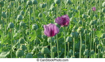 Blooming poppy and green cocoons