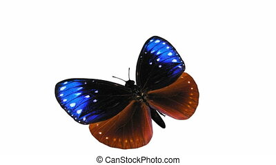 Looping Butterfly Animation 1