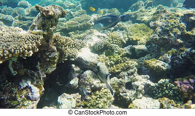 Exotic Red Sea fish - Masked puffer