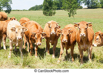 Line of curious young Limousing beef cattle with heifers and...