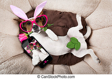 easter bunny dog in bed - jack russell dog looking and...