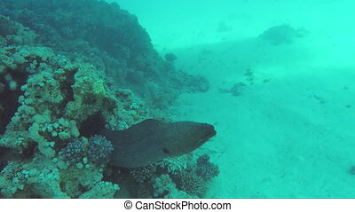 Giant moray under water, it cleans the mouth fish-satellite