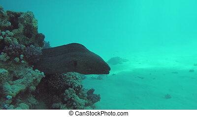 Giant moray underwater