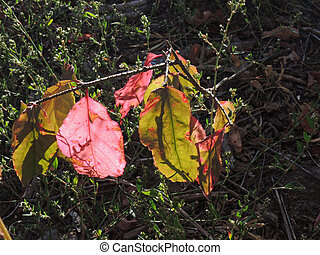 Red and green leaves of the wahoo (Euonymus verrucosus) on a...
