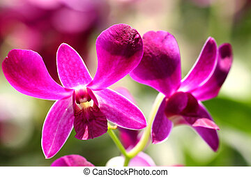 Dendrobium Batavia Beauty Orchids