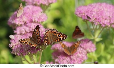 Beautiful buckeye butterflies - Beautiful butterflies...