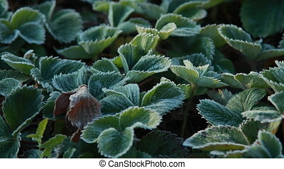 Frost turns to Dew on berry leaves