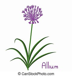 Allium plant illustration - Allium plant simple vector...