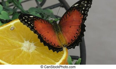 Butterfly from the tropics or Butterfly sailboats