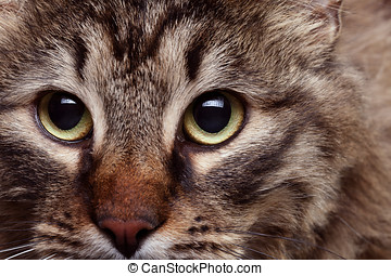 Cat head in close up with agressive look
