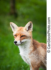 Red Fox (Vulpes vulpes)  - Red Fox (Vulpes vulpes)