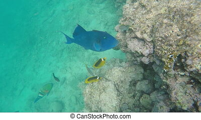 Giant Red Sea fish Blue-and-gold triggerfish