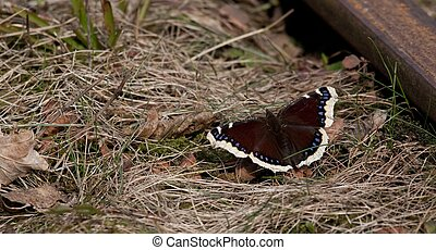 Mourning Cloak butterfly closeup - Sitting on dry grassy...