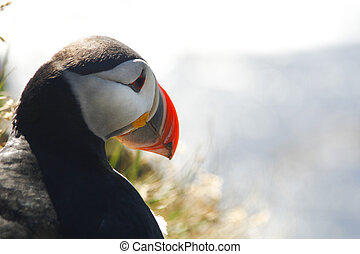 Atalantic sea puffin in close up - Beautiful atlantic puffin...
