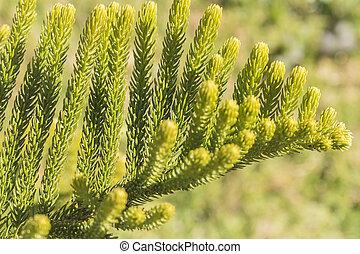 Araucaria, heterophylla, hoja, Araucaria, excelsa, es, Un,...