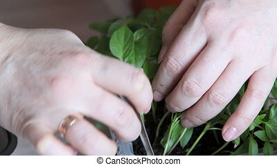 Seedlings on the vegetable tray. - Planting seedlings in the...