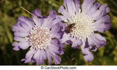 Alpine meadow flower with bee - Closeup alpine meadow flower...
