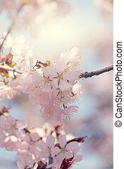 sakura , cherry blossom in full bloom