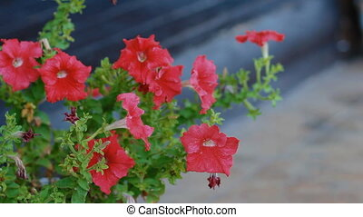 Red petunia in the garden Nice background