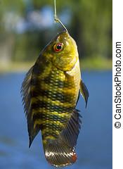 Cyprinus carpio Carpa - Cyprinus carpio or common carp...