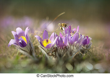 Pasque flower blooming in the meadow