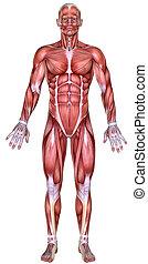 3d male body anatomy