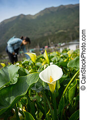 Calla lily field with blur tourist on background at Zuzhihu,...