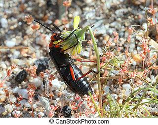 Desert Blister Beetle - Lytta magister