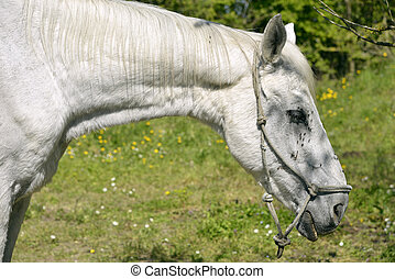 Portrait of white horse - Profile portrait of white horse...