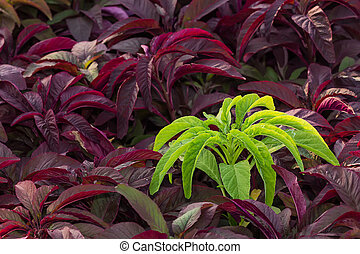 Ornamental plant - Green and Purple Ornamental plant in the...