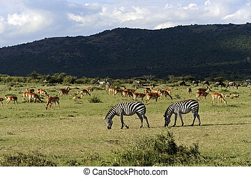 Zebra in the Masai Mara - Great Migration of Zebras in the...
