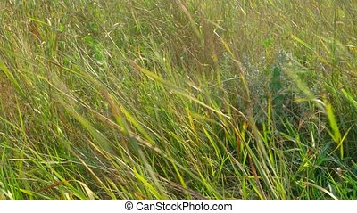 Steppen grass in the wind