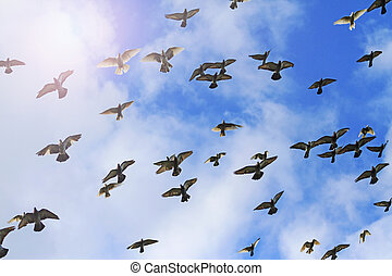 Pigeons fly against a background of blue sky and sun shine,...
