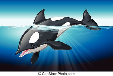 Killer whale swimming in the ocean