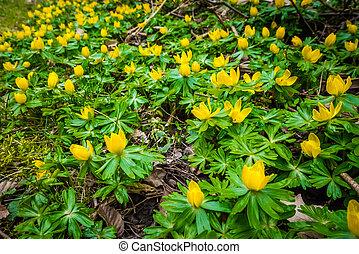 Eranthis flowers in a green garden