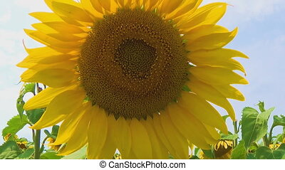 Bee working on Sunflower in slow motion, blue sky and sunny weather.
