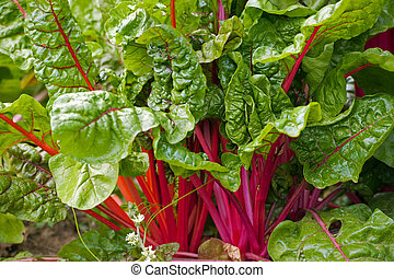 red swiss chard - home grown swiss chard ready for harvest