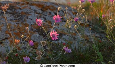 Small violet wild flowers on rock backlit by sunset