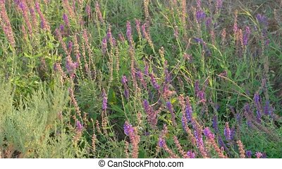 Field of wild sage Salvia Crimea Peninsula