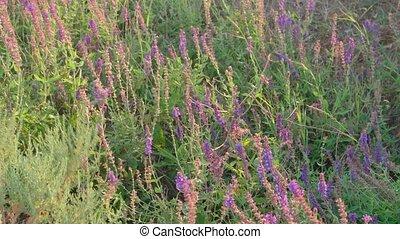 Field of wild sage (Salvia) Crimea Peninsula