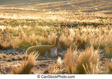 Smiley Vicuna near Nazca - Vicuna or vicugna is wild South...