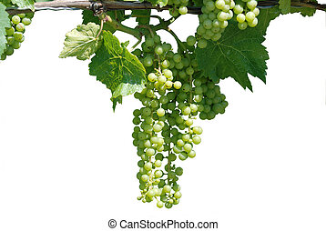 Green grape vine isolated