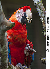 Macaw - Ara ararauna, Ecuador - Parrot Macaw - Ara ararauna...