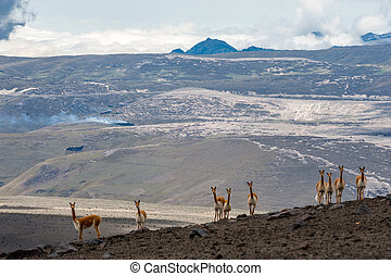 Vicuna in the high alpine areas of the Andes - Vicuna or...