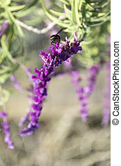Bumblebee flies over amethyst sage