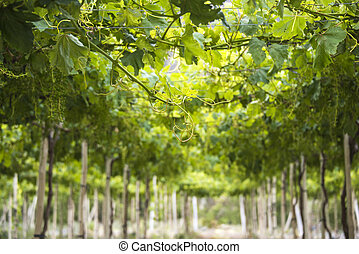 Spring Vineyard when Grapevine flower are transforming into...